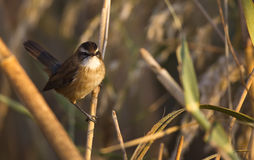 Moustached Warbler on Reed Royalty Free Stock Photo