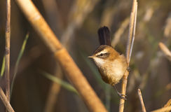 Moustached Warbler on Reed Royalty Free Stock Images