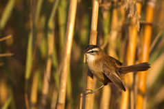 Moustached Warbler on Reed. A moustached warbler (Acrocephalus melanopogon) is perching on a reed Royalty Free Stock Photos