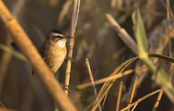 Moustached Warbler on Reed. A moustached warbler (Acrocephalus melanopogon) is perching on a reed Stock Image