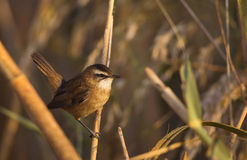 Moustached Warbler on Reed Stock Photo