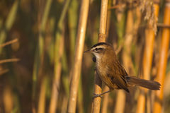 Moustached Warbler on Reed Stock Image