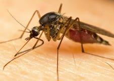 moustique Image libre de droits