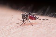 moustique Photo stock