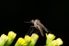 moustique photos stock