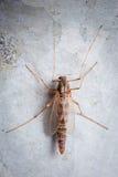moustique Images libres de droits