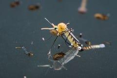 Moustique commun de maison (pipiens de Culex) Photo libre de droits