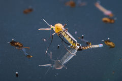 Moustique commun de maison (pipiens de Culex) Photo stock
