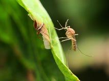 Moustique commun de maison (pipiens de Culex) Image stock