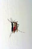 Moustique de tigre asiatique complètement de sang photo libre de droits