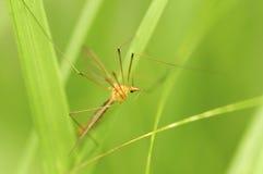 Moustique mâle Image stock