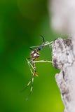 Moustique prédateur mûr Image libre de droits