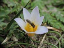 Moustique suçant le nectar sur une fleur blanche Photos stock