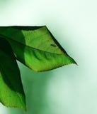 Moustique sur deux lames vertes Images libres de droits