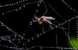 Moustique sur le WEB Photographie stock