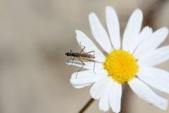 Moustique sur une fleur Image libre de droits
