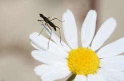 Moustique sur une fleur Photographie stock libre de droits