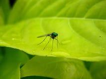 Moustique sur une lame tropicale Photographie stock libre de droits