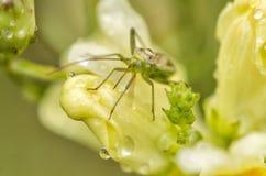 Moustique vert - PS de Culicidae sur la fleur jaune Images stock