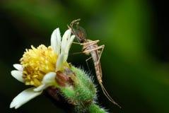 Moustiques Photos libres de droits