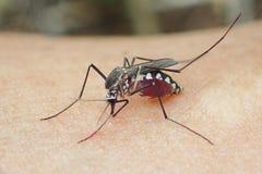 Moustiques macro Images libres de droits