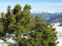 Moutain pine in natural habitats. Scientific name: Pinus mugo Turra Royalty Free Stock Photo
