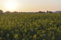 Moutarde de champ dans le coucher du soleil images stock