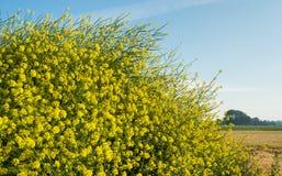 Moutarde noire de floraison jaune de fin Photo stock