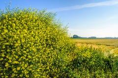 Moutarde noire de floraison jaune de fin Photos libres de droits