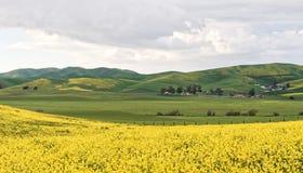 Moutarde sauvage de Livermore en fleur Photos stock