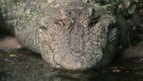 Mouth of American alligator near a pond, America. Extreme close-up high-angle tilting shot of the huge, rough, and wide mouth of American Alligator resting at stock footage
