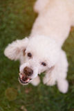 Mouth of barking white poodle. Standing on green grass. Angry bark white poodle Royalty Free Stock Photos