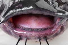 Mouth catfish. Open mouth the channel catfish close up Stock Images