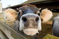 Mouth of cow in the barn, Farm Stock Image