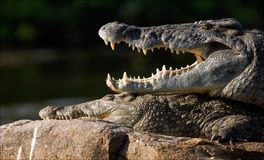 Mouth of a crocodile. The Nile crocodile lies on a stone and from a heat has widely opened a mouth, showing huge teeth Stock Photography
