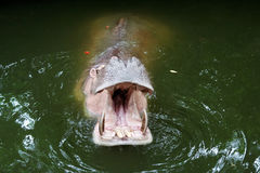 The mouth of a Hippo Stock Photo