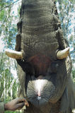 Mouth open of an elephant Royalty Free Stock Images