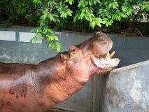 Mouth-opened Hippopotamus Royalty Free Stock Photo