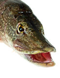 Mouth Pike Royalty Free Stock Photos