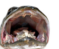 Mouth of pike Royalty Free Stock Photos
