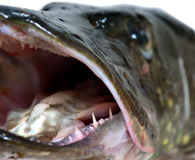 Mouth of pike Royalty Free Stock Photo