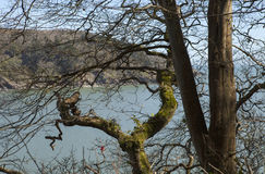 Mouth of the River Dart. Looking through the bare branches of winter from a coastal walk, the mouth of the river Dart lies peaceful on a sunny spring day Royalty Free Stock Image