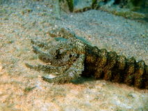 Mouth of the sea cucumber Stock Photo