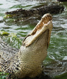 Mouth and teeth of the Cuban crocodile Royalty Free Stock Photo