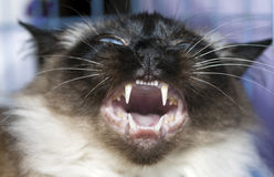 Mouth of  Thai cat Royalty Free Stock Photos
