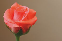Mouth Watering Rose Royalty Free Stock Photos