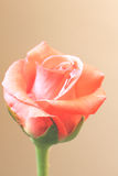 Gardening rose. My Garden rose she is untouched Royalty Free Stock Photo