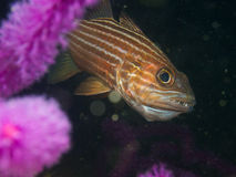 Mouthbrooding large-toothed cardinalfish Stock Image