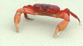 Mouthless Land Crab walking in the white sand stock video footage