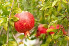 Mouthwatering Pomegranate Ripe on Tree Royalty Free Stock Photography